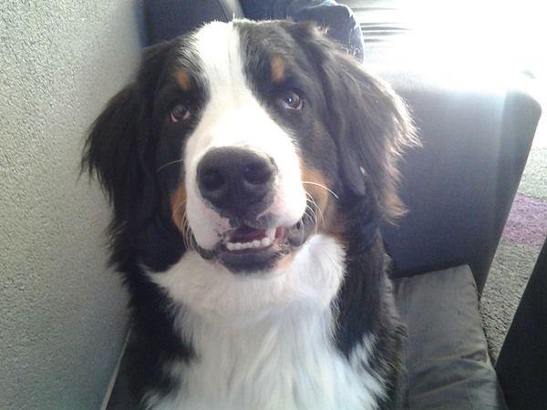 #Berner Sennenhond. Ingezonden op: 13 juli 2015: chum Chum is nu 1 jaar oud