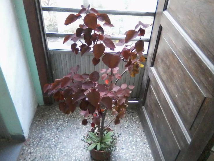 arbolito ornamental euphorbia cotinifoli (interior-exterior)