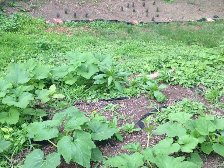 Pumpkin Hill (Also Zucchini, Yellow Crookneck, Pattypan, and Butternut)