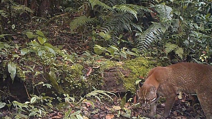 #AsianGoldenCats are usually reddish gold in colour and are very elusive preferring to live in forest away from human disturbance #cameratrapping. They are listed as Near Threatened on the #IUCNRedList. Watch our camera trap footage from #Sumatra here: https://www.youtube.com/watch?v=B56-SVIEORg&index=19&list=PLxs1X56SvmClp1oCHTz5iP56b6FNyPHL4