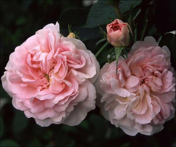Maiden 39 S Blush Rose Garden Pinterest