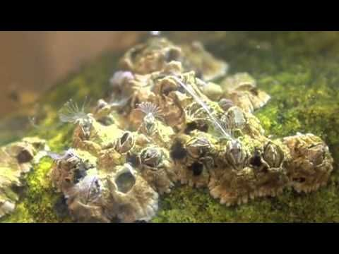 Just how do Barnacles breed? - a net in time schooling