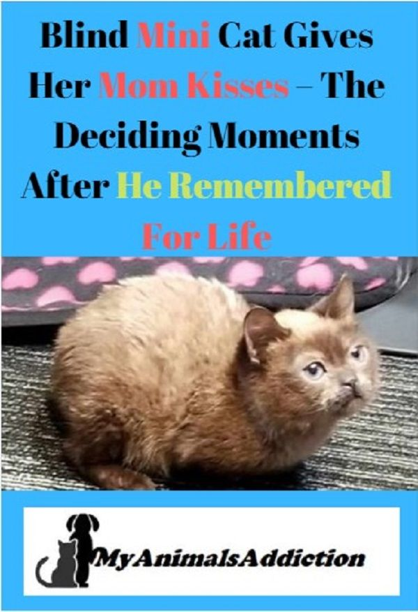 Blind Mini Cat Gives Her Mom Kisses The Deciding Moments After He Remembered For Life Funny Cat Videos Life Cats