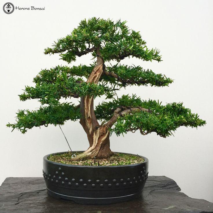Herons Bonsai — Japanese Yew Bonsai Tree | Herons Bonsai For Sale...