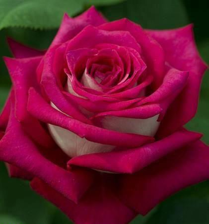 single pink flower rose - photo #47