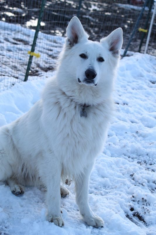 White German Shepherds ~ One of the most Loyal and Loving Dogs there is....