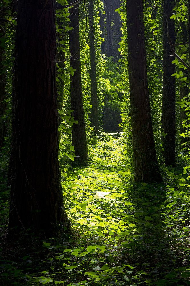 Druids Trees:  Green #forest.