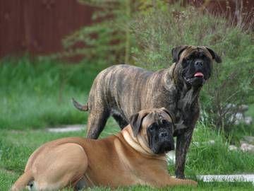 Бульмастиф (изображен на марке номиналом 3 руб.) - относительно молодая порода сторожевых собак из группы молоссов, выведенная в Англии в XIX веке при скрещивании английского мастифа со староанглийским бульдогом.