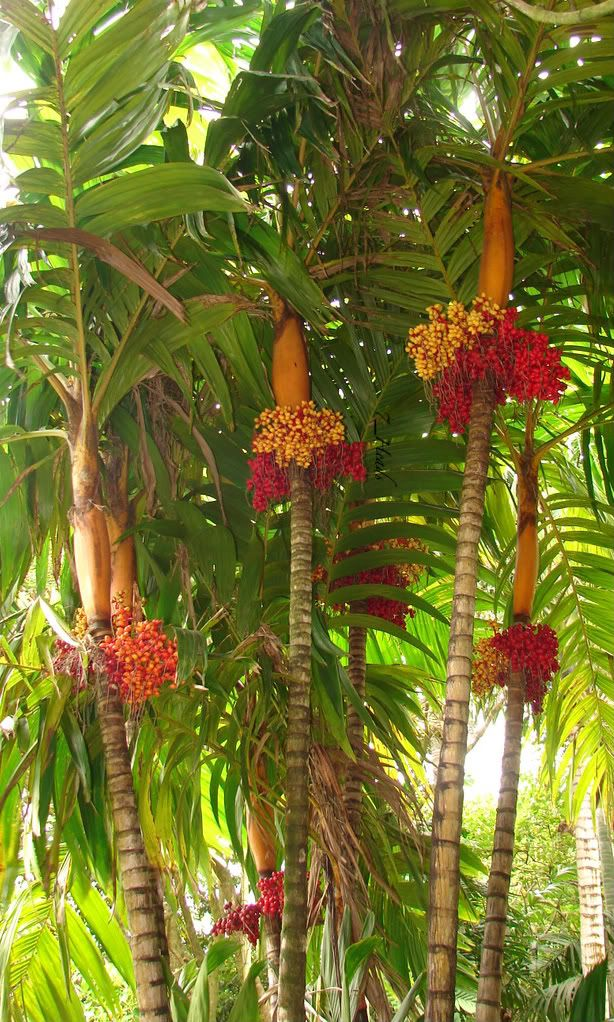 Polynesian Produce Stand : ~Orange Collar Palm~ Tree COLORFUL ...