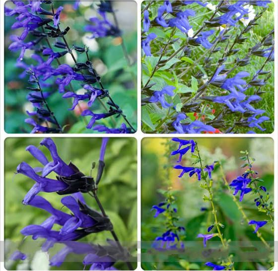 Blue Sage Salvia guaranitica is a species of Salvia native to a wide area of South America, including Brazil, Paraguay, Uruguay, and Argentina. It is a perennial subshrub growing 4 to 5 ft tall, spreading into a large patch through its spreading roots. Wikipedia Scientific name: Salvia guaranitica Higher classification: Sage