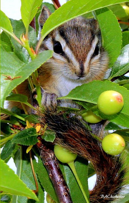 **Cute Baby Chipmunk