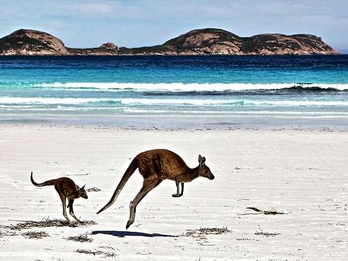 Kangourous, Australie - Photographié par Gordon Fellows