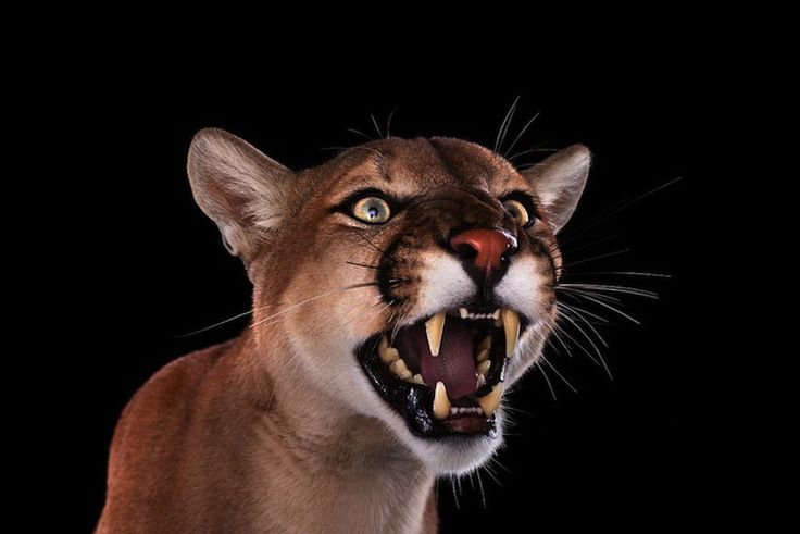 Cougar by Brad Wilson. Портреты животных крупным планом