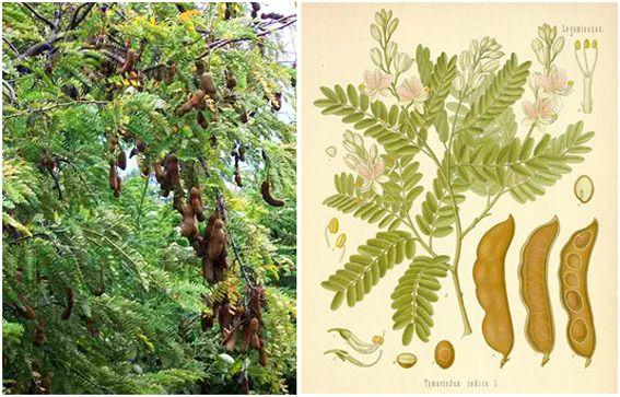 Asam Jawa = Asam Kandis = Tamarind = Tamarindus indica