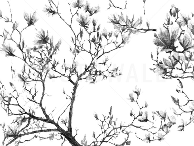 Magnolia Sketch - Wall Mural & Photo Wallpaper - Photowall