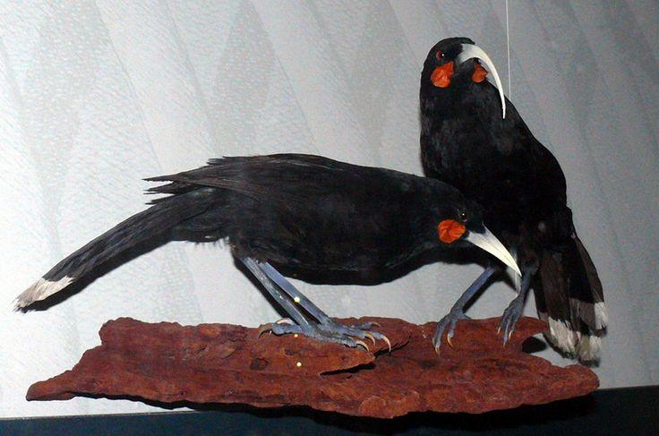 Huia (Heteralocha acutirostris) - animal extinto