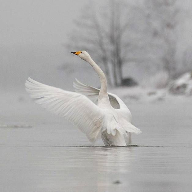 The Whooper Swan or Laulujoutsen is the national bird of Finland