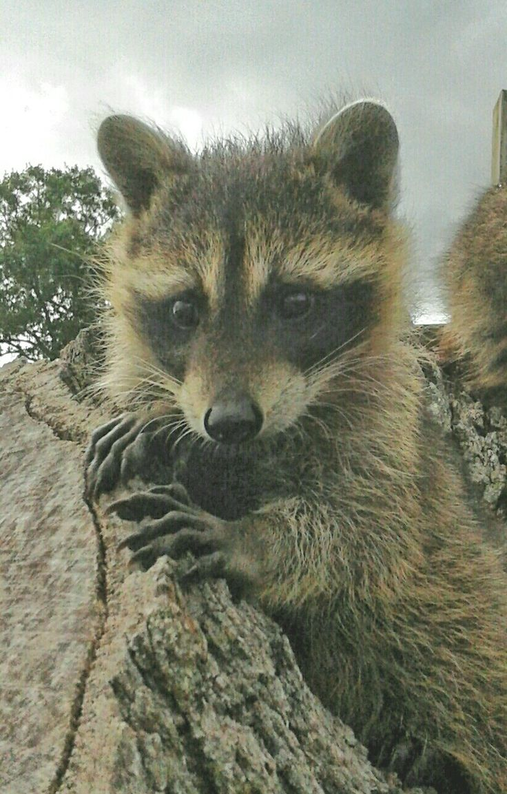 1301 best ti racoon images on pinterest raccoons animals and
