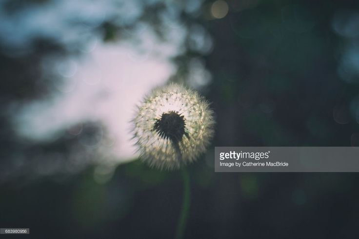 A dandelion seed head surrounded with blur and bokeh for a dreamy feel