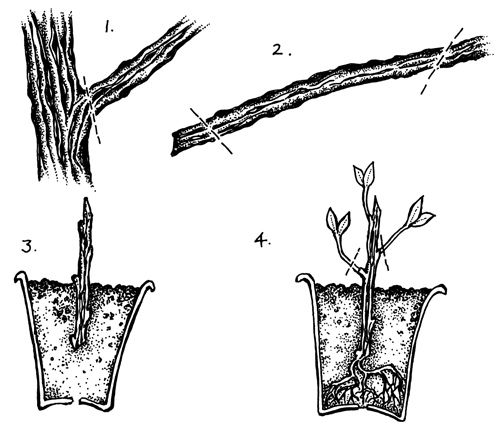 growing a fruit tree from a cutting vocabulary grade 4