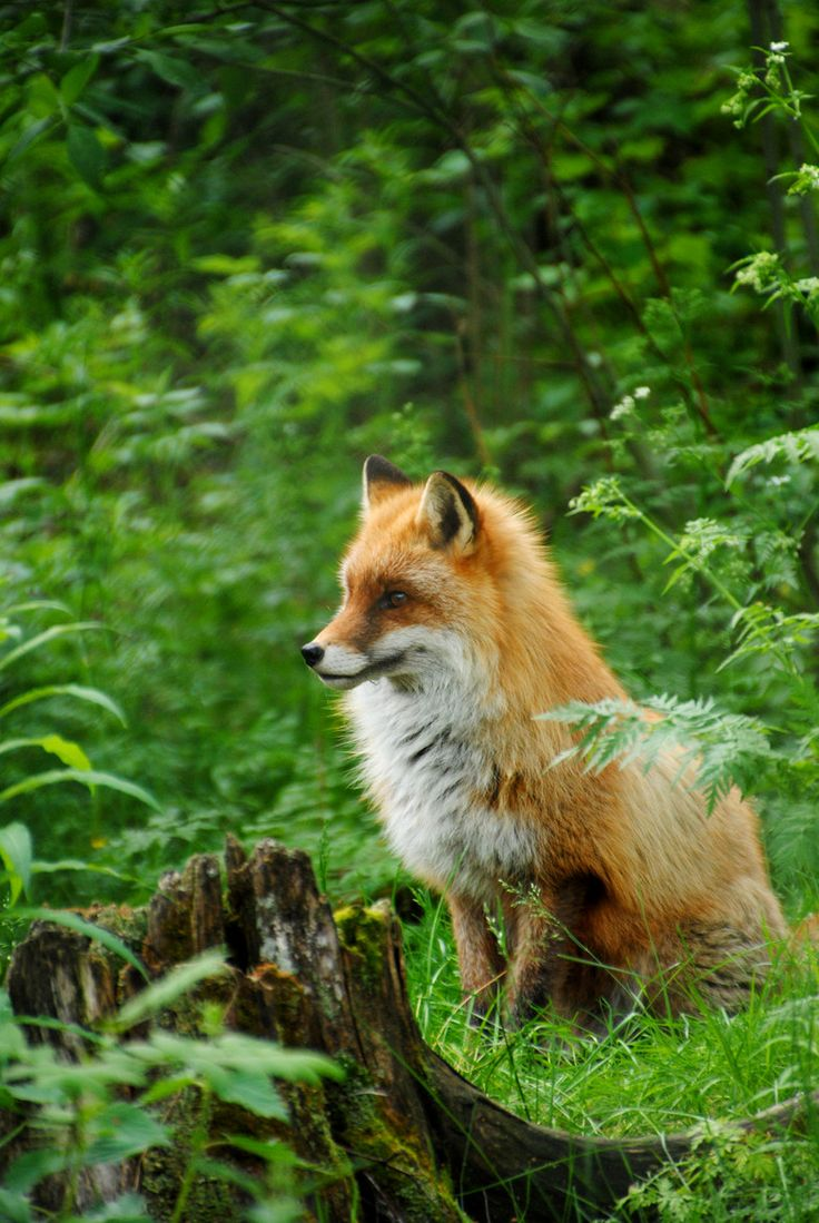 Fox in the forest.
