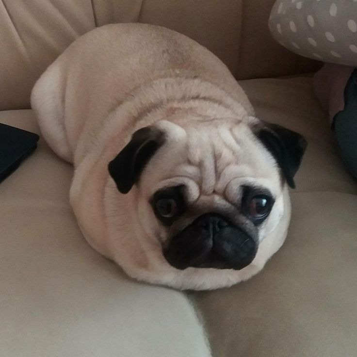 """⚠️Pugloaf alert⚠ Thank you for @hollytheninjapug! TAG us to be featured ~ """"The Pug Loaf"""