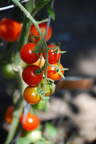 53 Best Cherry Tomatoes Images On Pinterest Tomatoes 400 x 300