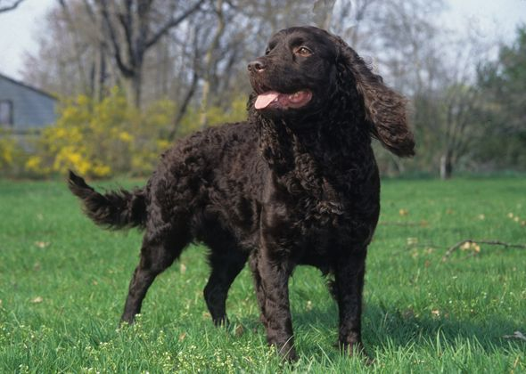 Mary Bloom Midwestern Mystery: American Water Spaniel  The American Water Spaniel's origins are a mystery, but he may well be a descendant of the now-extinct English water spaniel, which is known to have been brought to America. The AWS was developed in the mid-19th century in the Wolf and Fox River Valley region of Wisconsin....