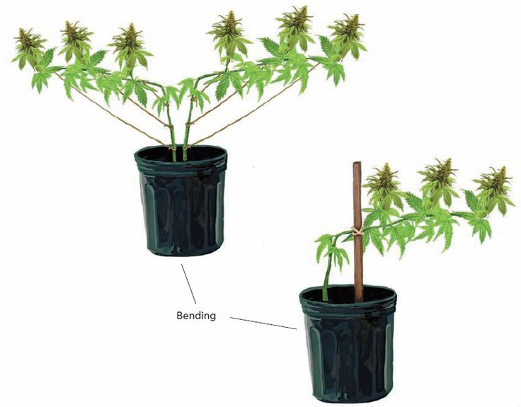 In Homegrown Marijuana, we'll take a look a look at techniques that relate to plant care during production, such as trellising, bending, and staking.