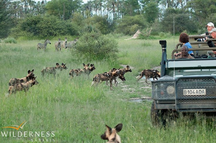 Owing to its location on the periphery of the Delta, Chitabe offers exciting year-round game viewing. #Botswana #Africa #safari #wild_dog
