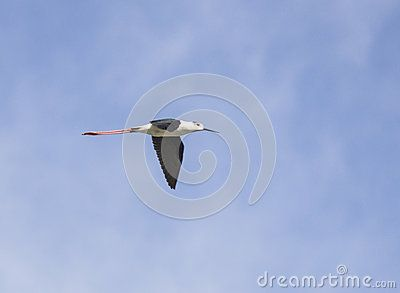 Cavaliere d Italia - Black winged stilt - himantopus