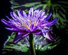 Blue Beauty (12bluros) Tags: flowerflora flowers waterlily closeup flor waterlilly flora floare flower florus blue beauty lilypad bluebeautywaterlily bunga bloom flores fiore fleur blume hana newyorkbotanicalgarden