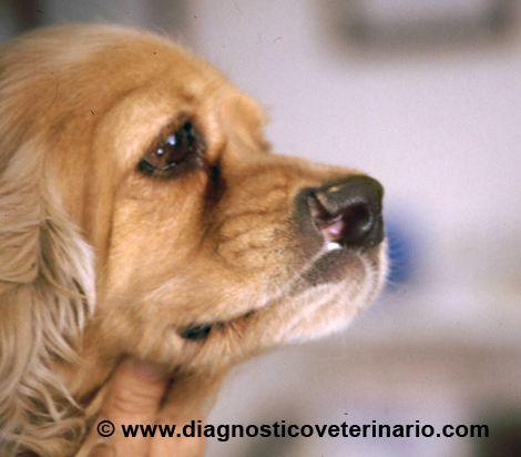 Labio Leporino canino