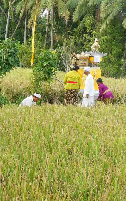 BLESSING CEREMONY IN THE RICE FIELD TEMPLE NEAR BY. THE PRIESTS ARE DRESSED IN WHITE