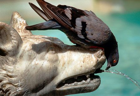 Pigeon drinking from Gaia Fountain, Siena, Italy: Maria'S, Fountain Siena, Jacopo Della, Images Gmbh Alami, Fountain Built, Gaia Fountain, Della Quercia, Scale, Italy