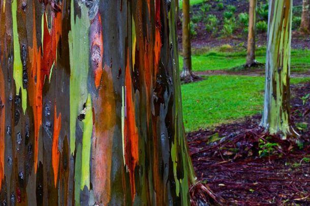 Eucalipto Arco-íris (Hawaii)