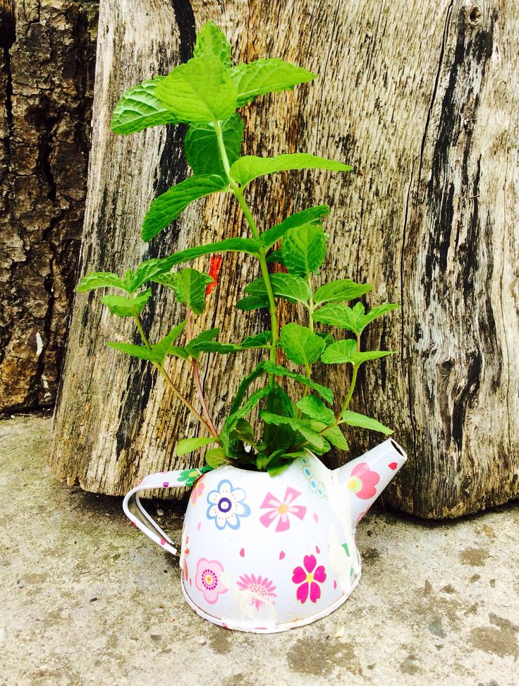 teapot planter with mint