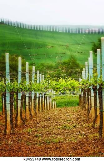 Llandscape in Tuscany - vineyard and alley trees