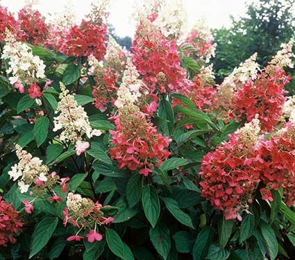 Hydrangea paniculata Pinky Winky® - White Flower Farm