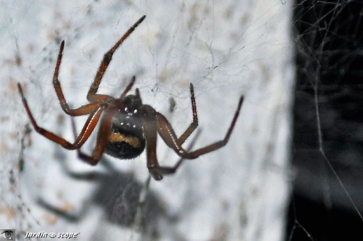 Une araignée, proche cousine de la veuve noire