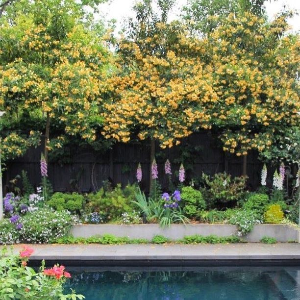 Superior Toorak Garden With Stunning Native Frangipani, Such An Intoxicating  Perfume. We Have Just Received New Stock In The Nursery Today