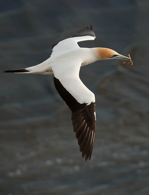 Gannet. New Zealand. This beautiful and graceful bird dives into the sea at 50 km/hr and reaches a depth of 15 metres in search of its prey.                                                            Photo on flickr by Mike NZ.