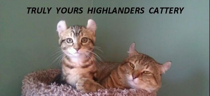Elite TICA-registered Highlander kittens for sale – Highlanders' cattery and breeder – we ship within USA and Canada.