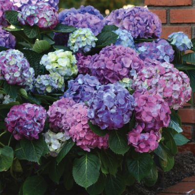LA Dreamin' Hydrangea in Garden GREENHOUSE Plants + Flowers at Terrain these would look beautiful with some peonies in my front yard beside the front steps :)