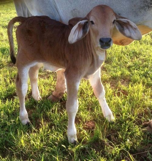 Pin this visit website! farm animals, cow painting, baby