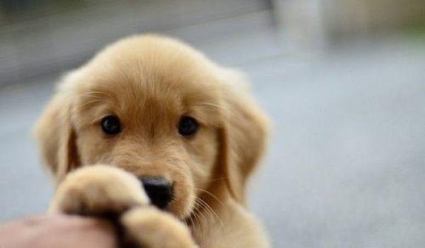 Der Golden Retriever stammt ursprünglich aus Großbritannien und ist ein sehr toller Hund.
