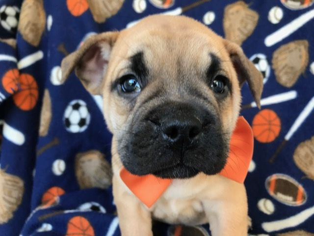 Best 25 French Bulldog Mix Ideas On Pinterest French
