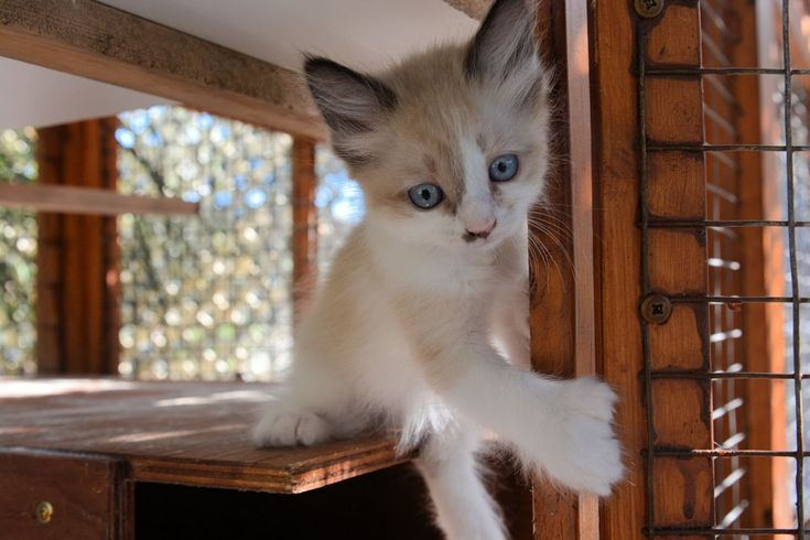 Polydactyl, Manx & Poly Manx Kittens for Sale Fall 2015