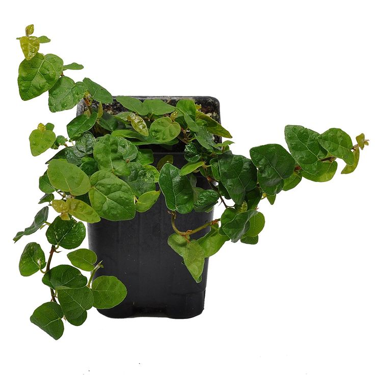 vine plants for shade
