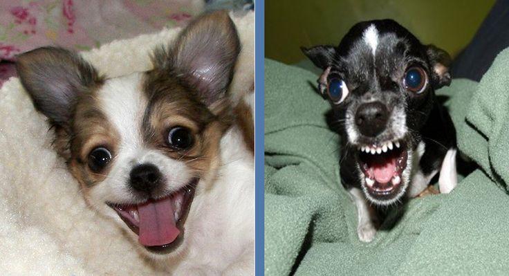 Happy Chihuahua Vs Mad Chihuahua Photo Via Totally